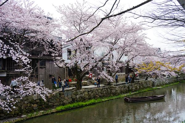 満開の桜と松明結い